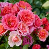 Rose Mandarin