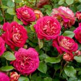 Rose No Surrender