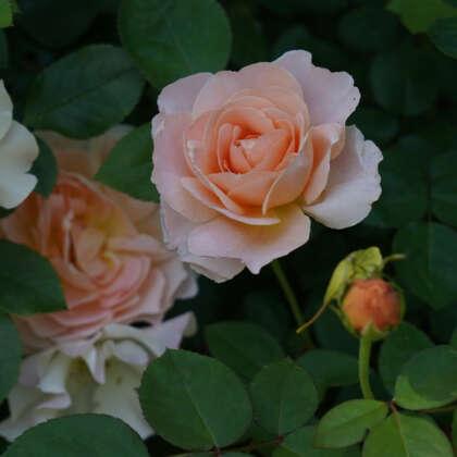 Patio Rose Tamora