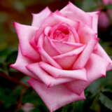 Rose Wedding Bells