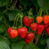 Strawberry Sugarbaby (pbr)