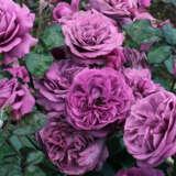 Rose Transplant Australias Thank You Rose