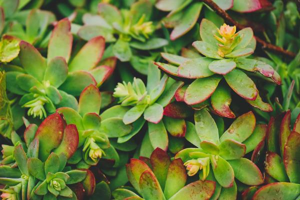 Sedum: Frost Tolerant Succulents