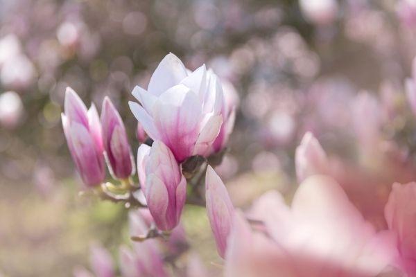 Frost Tolerant Magnolia