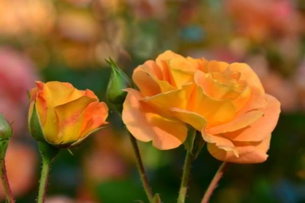 Common Rose Leaf Problems