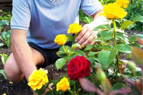 Fertilising Roses