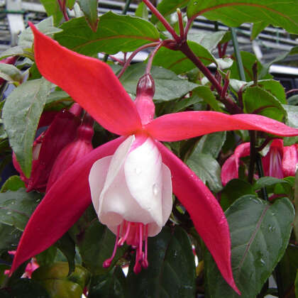 Fuchsia Red Whiskers