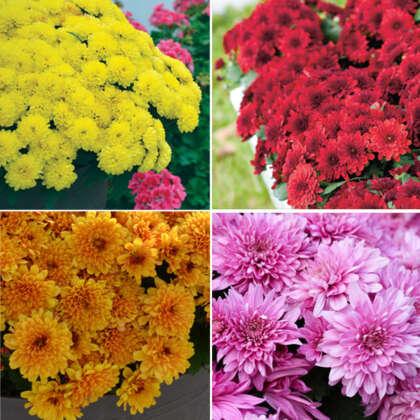 Garden Mum Chrysanthemum Collection X 2