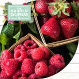 Gurus Berries
