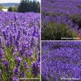 Lavender Bridestowe Sampler Collection X 3 Plants