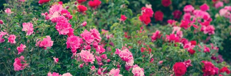 Roses Diseases