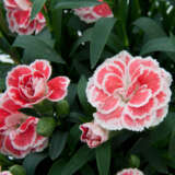 Carnation Oscar White & Red