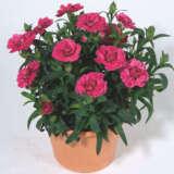 Carnation Oscar Cherry & Velvet
