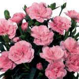 Carnation Oscar Pink