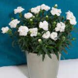 Carnation Oscar White