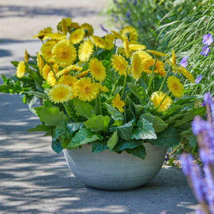 Garvinea Majestic Yellow