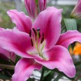 Lilium Donacion 2021 Pklildnc - Garden Express Australia