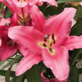 Lilium Donato Pklildon - Garden Express Australia