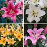 Lilium Oriental Trumpet Collection