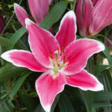 Lilium Rio Negro Pklilrne 1 - Garden Express Australia