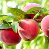Peach Ruby Sensation