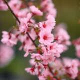 Prunus First Blush