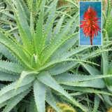Aloe Hedgehog