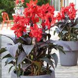 Canna Lily Cannova Bronze Scarlet