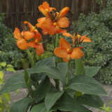 Canna Lily Cannova Orange