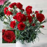 Carnation Oscar Dark Red