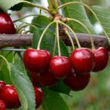 Cherry Royal Crimson