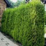 Conifer Leighton Green
