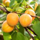 Dwarf Apricot Trevatt