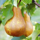 Dwarf Pear Buerre Bosc