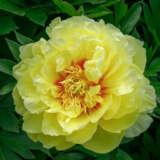Itoh Peony Garden Treasure