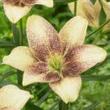 Lilium Easy Spot