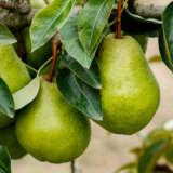 Pear Packham Triumph