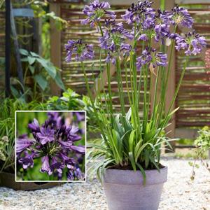 Agapanthus Poppin Purple Pplagappu - Garden Express Australia
