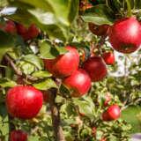 Apple Jonathan