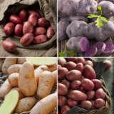 Cert Seed Potato Spring Coll Colcspsc1 - Garden Express Australia