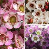 Chamelaucium Wax Flower Collection 2021 Colchawax - Garden Express Australia