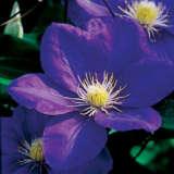 Clematis Ken Donson Pplclekdo - Garden Express Australia