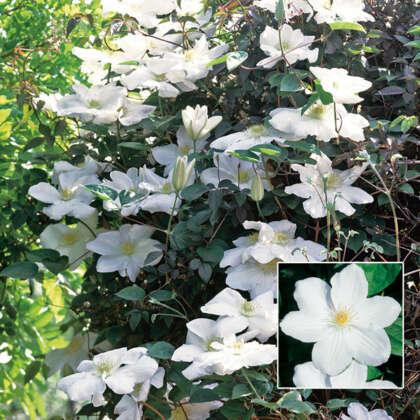 Clematis Madame Le Coultre Pplclemlc - Garden Express Australia