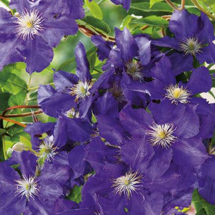 Clematis Rhapsody Pplclerha - Garden Express Australia