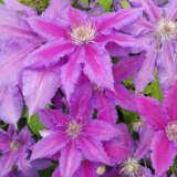 Clematis Starry Nights Pplclevsn - Garden Express Australia