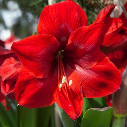 Floris Hoekker Pkhipfho - Garden Express Australia