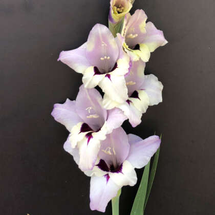 Gladioli Verax Pkgglver - Garden Express Australia