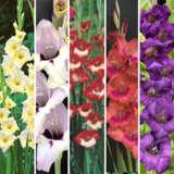 Glamour Gladioli Winter Collection 25 Bulbs 2021 Colgglwco - Garden Express Australia
