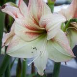 Hippastrum Amore Pkhipamo - Garden Express Australia