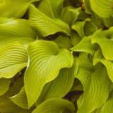 Hosta Pale Green PKHOSPGR